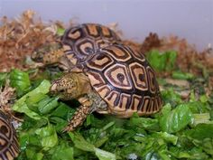 Care and Feeding of the Hatchling Leopard Tortoise