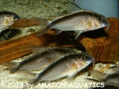 "L-Welse.com Datenbank - Corydoras arcuatus ""CW036"" - Powered by ReviewPost"