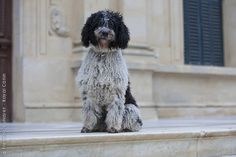 """Spanish Water Dog...technically what Rosie """"should"""" look like!!"""