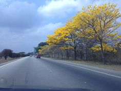 Araguaney, árbol nacional. #paisajesdevenezuela
