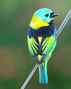 Green-headed Tanager (Tangara seledon) is a bird found in Atlantic forest in south-eastern Brazil, far eastern Paraguay and far north-eastern Argentina. While essentially a bird of humid forests, it is also common in orchards and parks, where it moves through the canopy, making itself inconspicuous, as its apparently flashy blue-green coloration camouflages it well amongst the foliage.