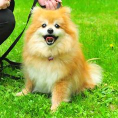 Senior special needs pom for adoption.  Stuff and Nonsense: The Rain is Back