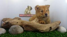 """El Chow chow es un perro de cuerpo robusto, cráneo amplio y pequeñas orejas triangulares, erectas y levemente redondeadas en la punta , es un perro de movimiento ágil y balanceado, Los chow chow se distinguen por su inusual lengua de color negra-azulada, púrpura o con manchas rosa/azuladas. El gen para la lengua negra-azulada/púrpura o manchada suele ser dominante en esta raza. ¿A ti que te gusta del Chow Chow ? Dale """"Like"""" a este mensaje y compártelo."""