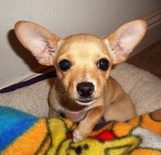 Holidays and Observances Pet Holidays Summary Page - this is Pixie, a teacup Chihuahua