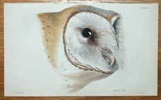 WHITE OWL Strix flammea Engraved by William Lizars after Stewart Published Edinburgh 1838 by W H Lizars in Sir William Jardine s Naturalist s Library