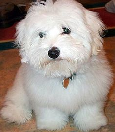 Coton de Tulear Height  The height of a Coton de Tulear is measured at the withers.  A male Coton ranges from 9 7/8 inches (25 cm) to 12 1/...