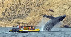 Whale watching in Cabo, a HUGE experience!
