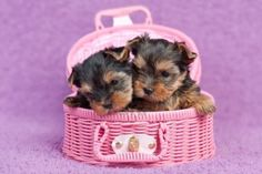 Two cute yorkshire terrier puppies in a pink basket