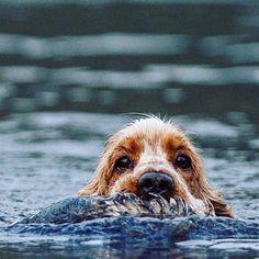 Happy Cocker Spaniel loves to swim and hunt -