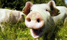 Natural Desiccated Thyroid w skrócie NDT czyli odpowiednio spreparowana świńska tarczyca. W Polsce nie dopuszczona do użytku farmaceutycznego, w wielu krajach świata i Europy (np.: Belgia, Niemcy, …