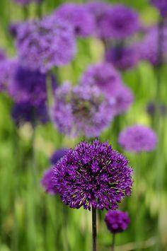 UK - Cotswolds - Burford - Cotswold Wildlife Park - Alliums 01 (by Darrell Godliman)