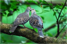 You may have not seen the cute pose of birds kissing in real here are lovely eye catching moments! Look at these photos of love birds expressing their love. Love Birds, Beautiful Birds, Animals Beautiful, Turtle Dove, Cute Poses, Bird Tree, Colorful Birds, Cool Pets, Wild Birds