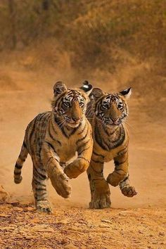 BEAUTIFUL YOUNG TIGERS  ! THEY ARE GOING EXTINCT!!
