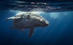 Humpback whales - Reunion island 2014.