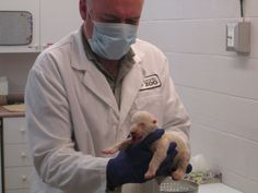Polar bear cub born November 9, 2013. Toronto Zoo.   #polarbearcub #polarbear #Humphrey #torontozoo #animals