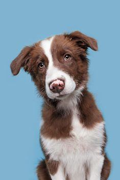Meet Jossy, 15 weeks old, border collie girl I Love Dogs, Cute Dogs, Mundo Animal, Background For Photography, Dog Portraits, Dogs And Puppies, Doggies, Pictures To Draw, Dog Photos