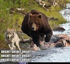A plucky wolf flees after attempting to join a giant grizzly bear for breakfast in the Yellowstone national park in Wyoming, USA Animals And Pets, Funny Animals, Cute Animals, Wild Animals, Animal Funnies, Animal Memes, Baby Animals, Cute Bear, Mundo Animal