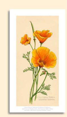 California Poppy (Eschscholzia californica)
