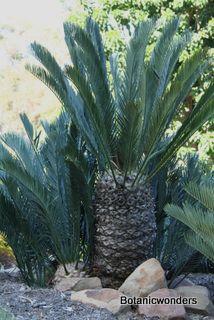 Encephalartos lehmannii           Karoo Cycad        Karoobroodboom      1,5-3 m         SA no 8,1