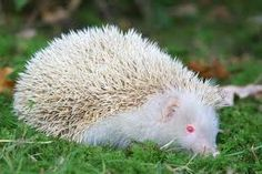 albino-egel
