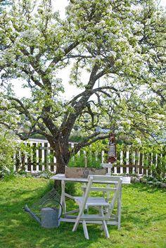 Vita Ranunkler: Trädgård