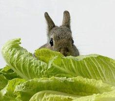 Lettuce 'Little Gem' - Salad Leaves - Vegetables - Edibles Seeds