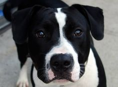 SAFE Brooklyn Center  BUBBLES - A0977056  I am an unaltered female, black and white Pit Bull Terrier mix.  The shelter staff think I am about 1 year old.