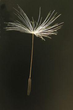 Dandelion seed by ecirp1, via Flickr