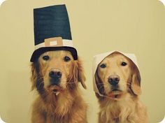 These sweet golden retrievers dressed as pilgrims are the cutest! Happy Thanksgiving!