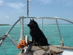 Schipperke on Boat (They're sometimes known as the little captains, as they were said to be boat dogs.  Though they were also said to be used in shops!)