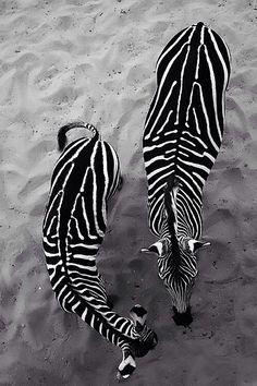zebra's conspiracy