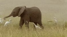 Baby Elephant Shows A Group Of Egrets How To Party