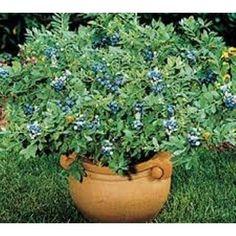 """Papaya T.R. Hovey Tree - Carica papaya - Easy to grow fruit - 4"""" Pot"""