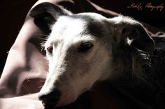 Greyhound Moira - Djimba, home for old, ill and handicapped dogs