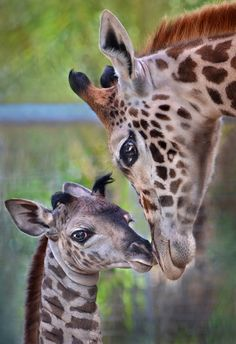 A one day old female giraffe gets some attention from another member of the herd at the San Diego Zoo. The new addition stands at six feet tall and weighs 136 pounds.