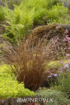 Monrovia's Fox Red Curly Sedge details and information. Learn more about Monrovia plants and best practices for best possible plant performance.