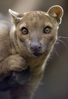 The pit (Fossa) looks like a cat, but this carnivorous mammal is actually a relative of the mongoose, and is endemic to Madagascar. The pit is the largest mammalian carnivore on the island. Beautiful Creatures, Animals Beautiful, Cute Animals, He's Beautiful, Unusual Animals, Strange Animals, Like A Cat, Tier Fotos, Nature Animals