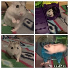 I am sad to announce that my baby Sprite has passed away, we had just adopted him July from Craigslist. We don't know how old he was, even though I only had him a short time I loved him so dearly. RIP my baby boy I Love Him, My Love, July 9th, I Am Sad, Hamsters, Passed Away, Adoption, Old Things, Baby Boy