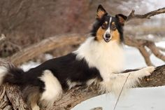 Scotch Collie, Rough Collie, Sheltie, Livestock, Dog Breeds, Smooth, Dogs, Animals, Animales