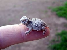 Texas horned lizard, Phrynosoma cornutum, is listed as threatened. They can have an intimidating appearance but are docile and gentle in nature. When feeling threatened, it flattens and freezes in place, trying to blend with the ground.