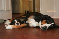 Greater Swiss Mountain Dogs.