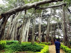 Near Kolkata, at the Acharya Jagadish Chandra Bose Botanical Garden, Howrah, lies another living proof nature's powerful glory. The 1250 year old Great Banyan Tree, with a canopy covering an area of 4 acres, is considered the widest tree in the world. After being struck by lightning, the tree was diseased.The trunk had to be removed in 1925.continues to live without its main trunk,has 3300 aerial roots reaching down to the ground.