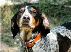 A great Blue Tick Coon Dog
