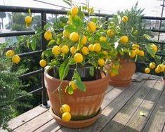Cómo cultivar y cuidar limoneros en maceta                                                                                                                                                                                 Más #huertaenmacetas