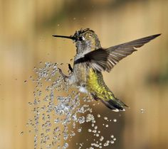 Birds and Blooms Hummingbird photo challenge - this guy is enjoying a splash of water!