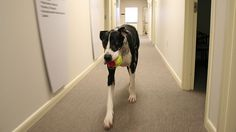 The researchers say that dogs in the workplace may help buffer work stress, and make the job more satisfying for non-dog owners, too. Their results were published in the International Journal of Workplace Health Management.