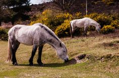 Ponies eating in New Forest
