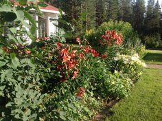 Voi kauniit elokuun illat ja hehkuvat kukat. Puutarha kauneimmillaan.