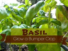 Grow a bumper crop of basil in containers | PreparednessMama | #prepbloggers #growyourown #herbs