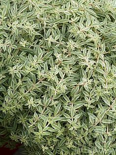 """Sedum lineare 'Sea Urchin' 